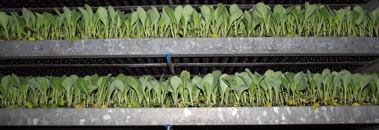 koolplantjes in de rekken bij De Kerkmeer